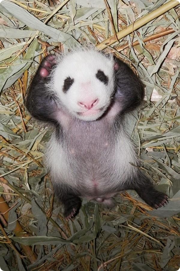 Дитеныш панды